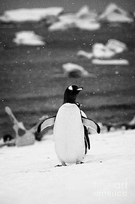 Gentoo Penguin Cooling Down With Wings Outstretched In Gentoo Penguin Colony On Cuverville Island An Art Print by Joe Fox