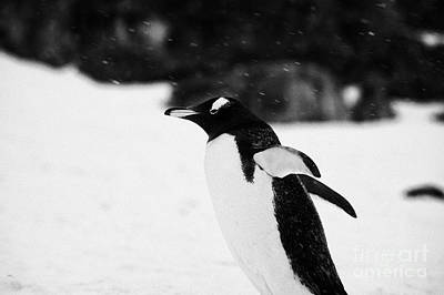 Gentoo Penguin Cooling Down With Wings Outstretched In Snowstorm On Cuverville Island Antarctica Art Print by Joe Fox