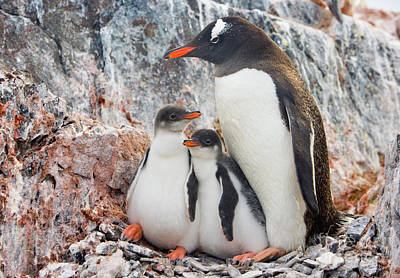 Three Chicks Photograph - Gentoo Penguin Family Booth Isl by Yva Momatiuk and John Eastcott