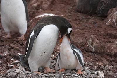 Sea Bird 2 Photograph - Gentoo Penguin Feeding Its Chick by Dr P. Marazzi