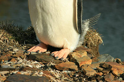 Brushtail Photograph - Gentoo Penguin Feet by Amanda Stadther