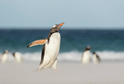 Marching Photograph - Gentoo Penguin (pygoscelis Papua by Martin Zwick