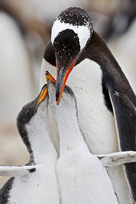 Photograph - Gentoo Penguin With Begging Twins by Heike Odermatt