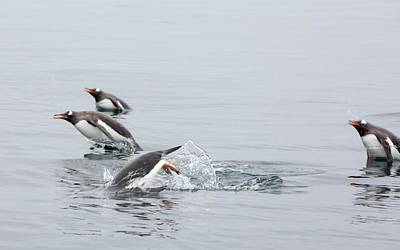 Fastest Bird Photograph - Gentoo Penguins by Ashley Cooper