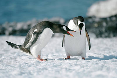 Gentoo Penguins Interacting Print by Dr P. Marazzi