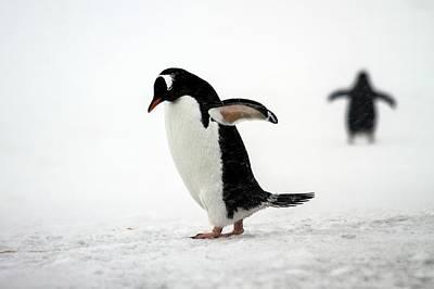 Gentoo Penguins (pygoscelis Papua) Art Print by Photostock-israel