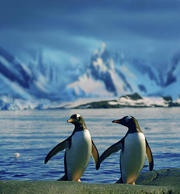 Vogel Wall Art - Photograph - Gentoo Penguins - True Love by Per-Andre Hoffmann