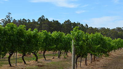 Photograph - Geographe Bay  Vineyard 1.1 by Cheryl Miller