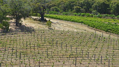Photograph - Geographe Bay Vineyard 1.2 by Cheryl Miller