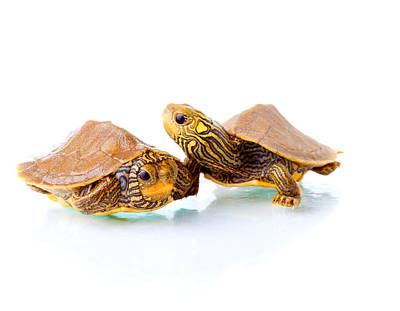 Small Turtle Photograph - George And Zippy by Alexey Stiop