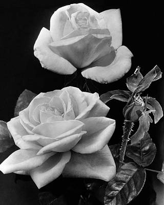 White Flower Photograph - 'george Arends' Roses by J. Horace McFarland