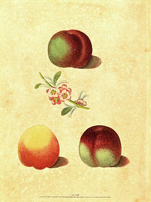Peach Drawing - George Brookshaw, British Active 1812, Three Peaches by Litz Collection