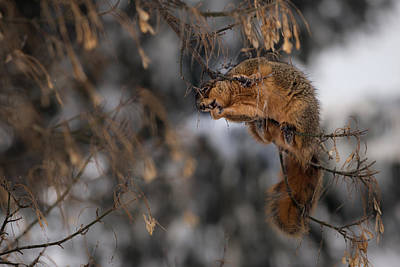 Photograph - George Eating Maple Seeds In Winter by  Onyonet  Photo Studios