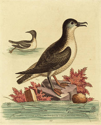 Puffin Drawing - George Edwards English, 1694 - 1773, The Guillemot by Quint Lox