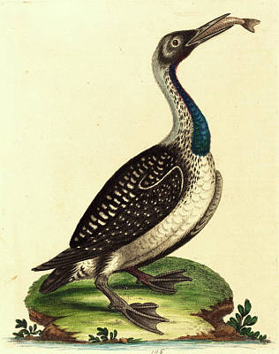 Waterfowl Drawing - George Edwards,english, 1694-1773, Black And White by Litz Collection