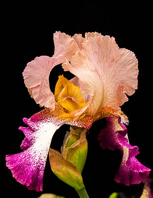 Georgeous Iris 2 Art Print