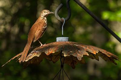 Art Print featuring the photograph Georgia State Bird - Brown Thrasher by Robert L Jackson