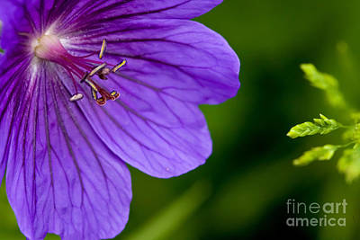 Art Print featuring the photograph Geranium Blues by Liz  Alderdice