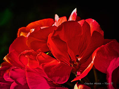Photograph - Geranium   by Charles Muhle