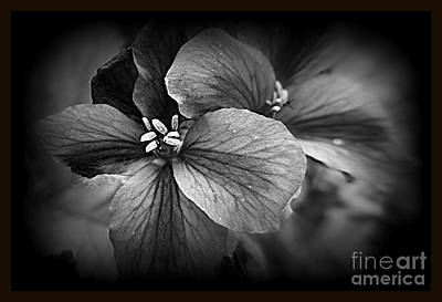 Photograph - Geranium Flowers by Kay Novy