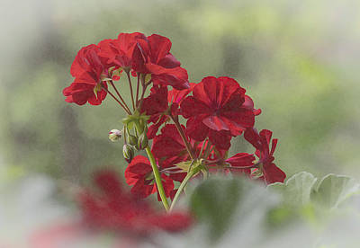Photograph - Geranium II by Wayne Meyer