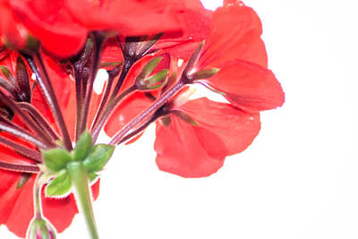 Photograph - Geranium In Red by Dawn Romine