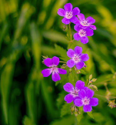Photograph - Geranium by James Canning