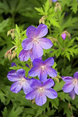 Blue Flowers Photograph - Geranium 'johnson's Blue' Flowers by Adrian Thomas