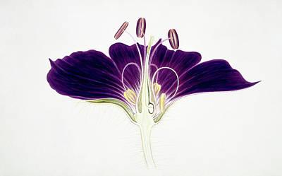 Geranium Phaeum Flower Art Print by Natural History Museum, London