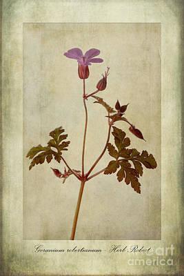 Pink Geraniums Photograph - Geranium Robertianum by John Edwards