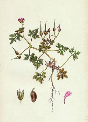 Botanica Drawing - Geranium Robertianum Var. Purpureum Herb Robert Var by English School