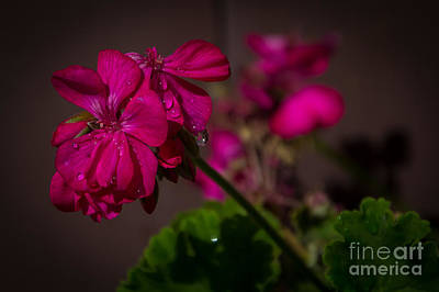 Photograph - Geranium Tears by Jim McCain