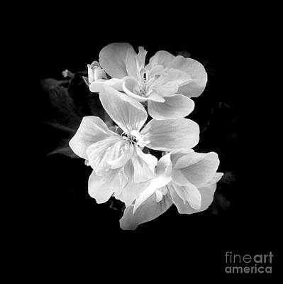 Photograph - Geranium White by Ioanna Papanikolaou
