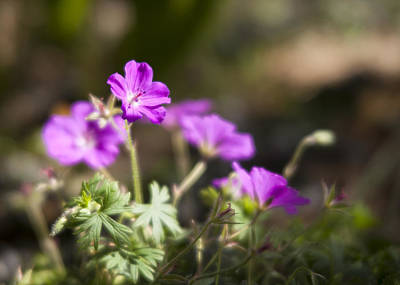 Photograph - Geraniums Soft by Caitlyn  Grasso