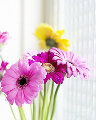 Gerber Daisy Photograph - Gerber Daisies - The Three Sisters by Ivy Ho