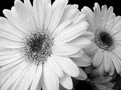 Flowers And Water Drops Wall Art - Photograph - Gerber Daisies In Black And White by Jennie Marie Schell