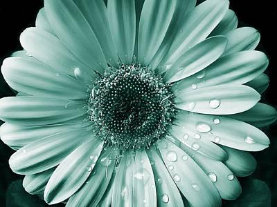 Photograph - Raindrops Gerber Daisy Flower Teal  by Jennie Marie Schell