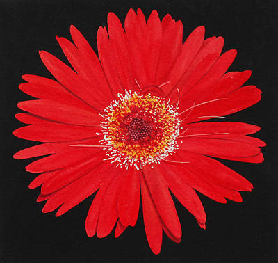 Gerber Daisy Print by Jean Yates