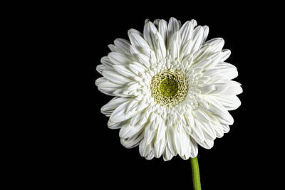 Photograph - Gerber Daisy by John Crothers