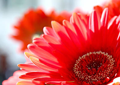 Photograph - Gerber Daisy by Nancy  Coelho