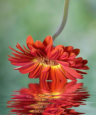 Robert Jensen Photograph - Gerber Daisy Reflection by Robert Jensen