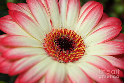 Photograph - Gerbera Close Up by Terri Thompson