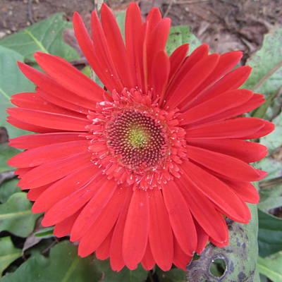 Gerbera Daisy Photograph - Gerbera Daisy by Cathy Lindsey