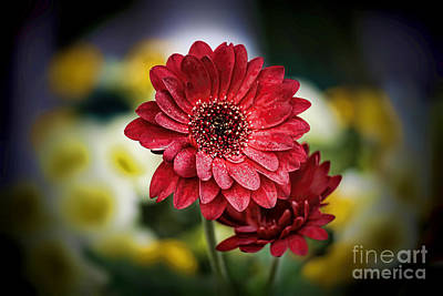 Photograph - Gerbera Daisy by D Wallace