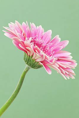 Gerbera Daisy Flower Art Print by Andrew Dernie