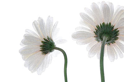 Photograph - Gerbera Daisy I by Michael Moschogianis