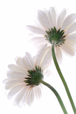 Photograph - Gerbera Daisy II by Michael Moschogianis
