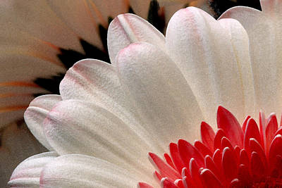 Photograph - Gerbera Daisy IIi by Michael Moschogianis
