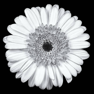 Symmetry Photograph - Gerbera Daisy Monochrome by Adam Romanowicz