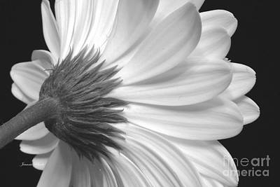 Gerbera Daisy Monochrome Art Print by Jeannie Rhode